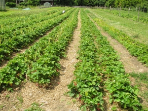 Organic strawberry field